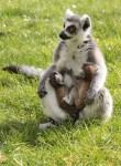 Niedlicher Nachwuchs im Doppelpack: Katta-Zwillinge im Serengeti-Park geboren