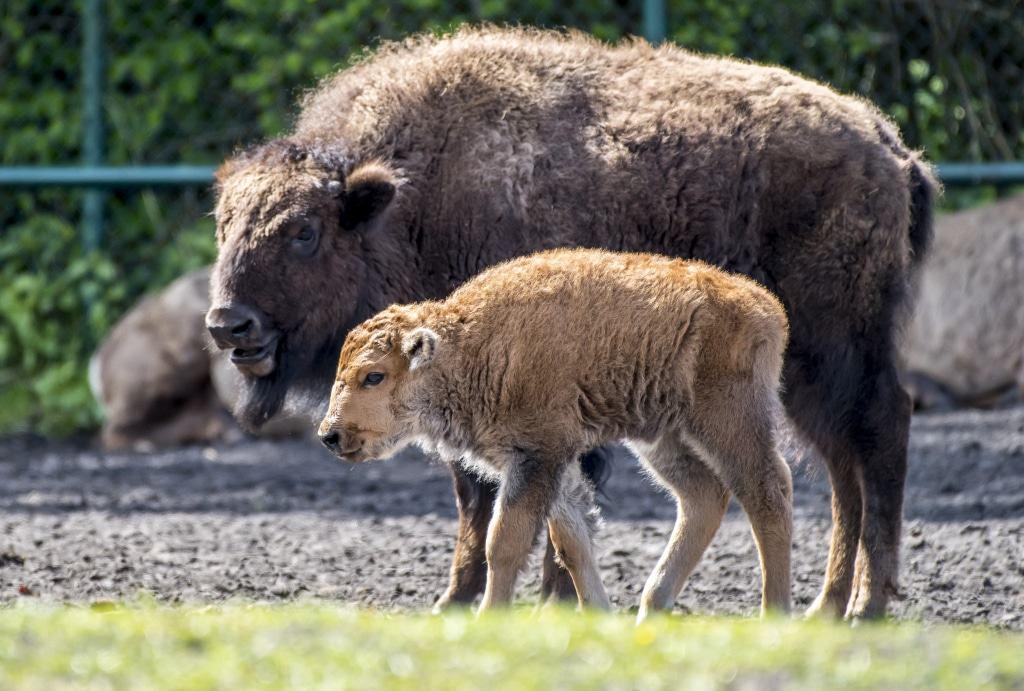 Viel Nachwuchs gibt es bei den Bisons, hier sehen Sie eines der sieben Jungtiere. Foto: Serengeti-Park Hodenhagen