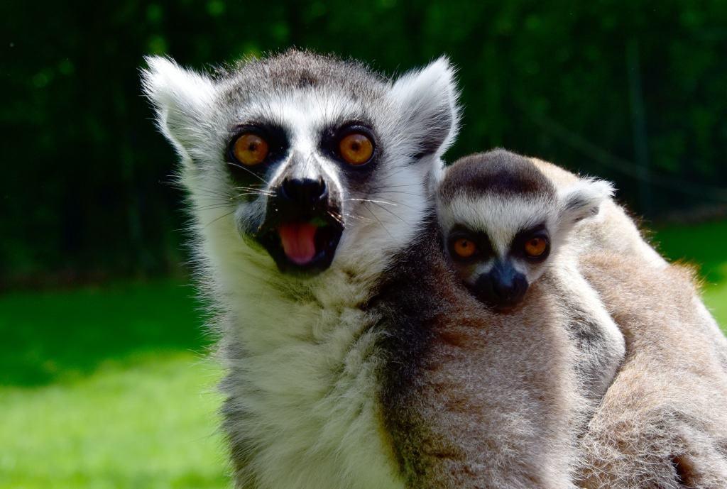 Hautnah können die Besucher des Serengeti-Parks die Kattas im Lemuren-Gehege der Dschungel-Safari erleben. Foto: Serengeti-Park Hodenhagen