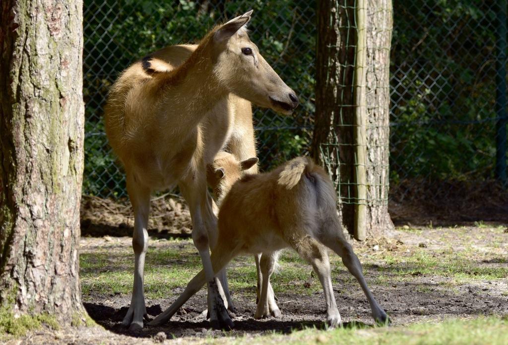 In freier Wildbahn ist der Pater-David-Hirsch ausgestorben. Foto: Serengeti-Park Hodenhagen
