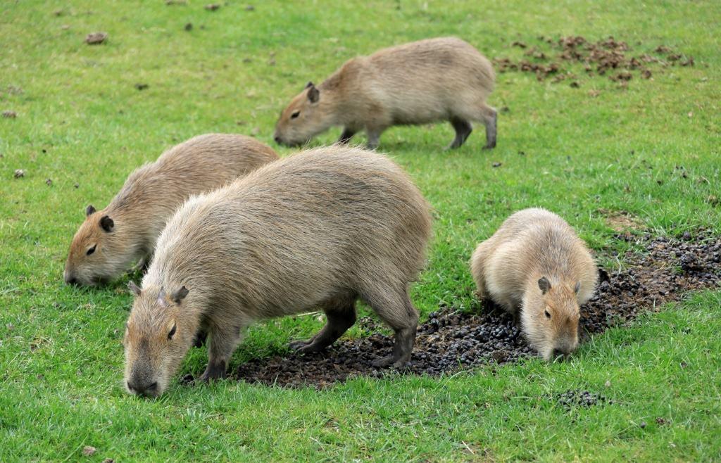 Auch bei den Wasserschweinen wurden im Oktober 2016 Drillinge geboren. Foto: Serengeti-Park Hodenhagen