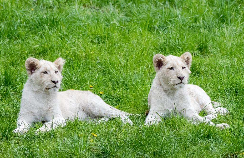 Die kleinen weißen Löwen wurden Ende September 2016 geboren. Foto: Serengeti-Park Hodenhagen