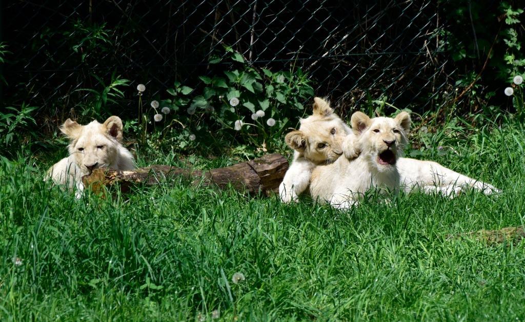 Taio (geboren zum glücklich sein), Mojo (der Glücksbringer) und Amari (der Starke) sind die Namen der drei weißen Löwen, die jetzt gut 8 Monate alt sind. Foto: Serengeti-Park Hodenhagen