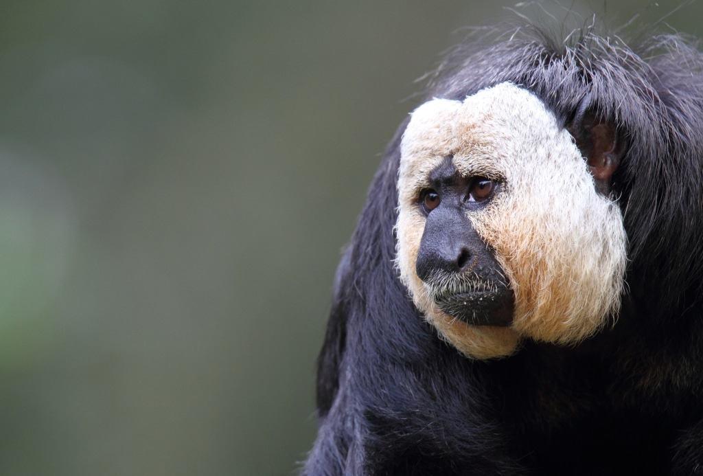 Weißkopfsakimännchen Alvin ist der Vater der beiden jungen Weißkopfsakis Quelle: Serengeti-Park Hodenhagen