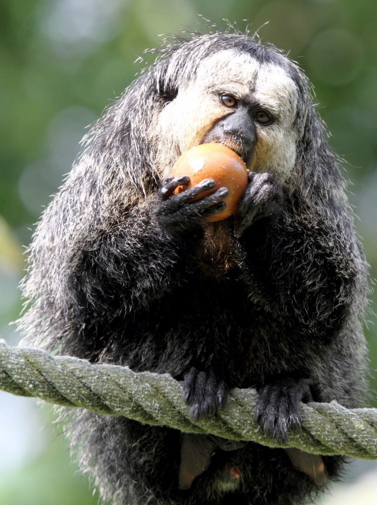 Weißkopfsakis wie Theodor ernähren sich von Früchten, Nüssen, Samen, Blättern und Insekten. Quelle: Serengeti-Park Hodenhagen