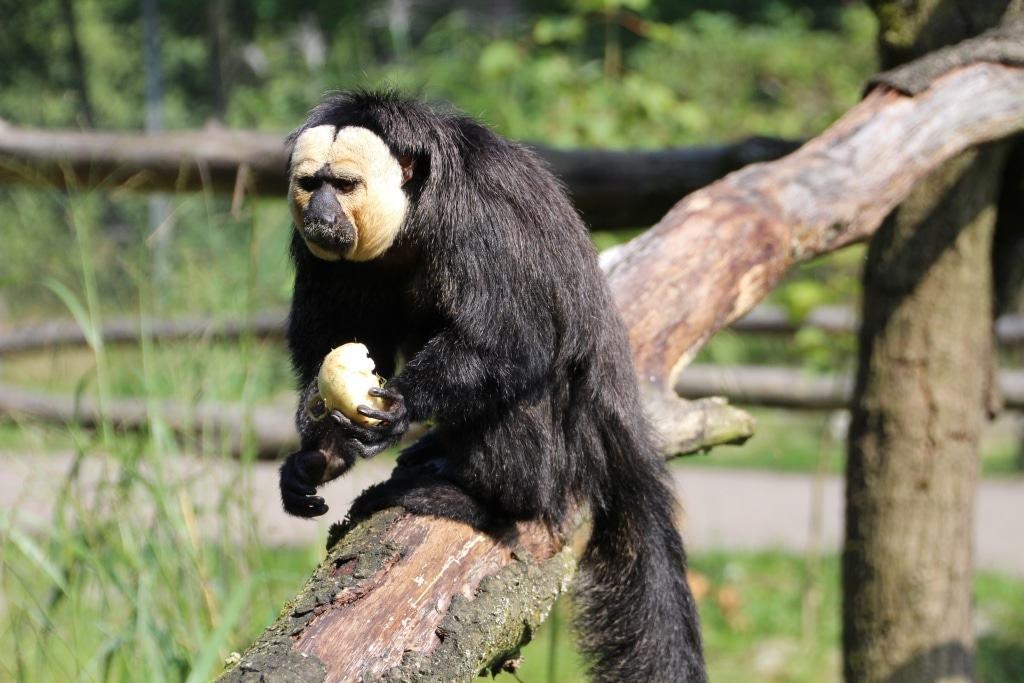 Weißkopfsakis, hier Simon (geboren 2014), sind tagaktive Baumbewohner aus den Gebirgs- und Regenwäldern im nordöstichen Südamerika. Quelle: Serengeti-Park Hodenhagen