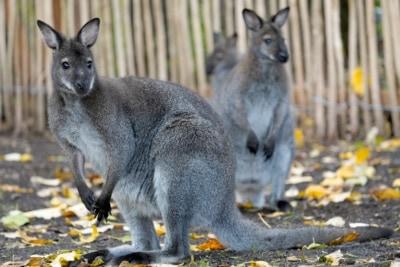 Die Neuheiten 2020 im Serengeti-Park Hodenhagen: Bennett-Känguru (begehbares Gehege am Rande der Dschungel-Safari)