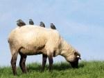 Grasendes Schaf mit Vögeln, Foto: Bent Alexander Haase