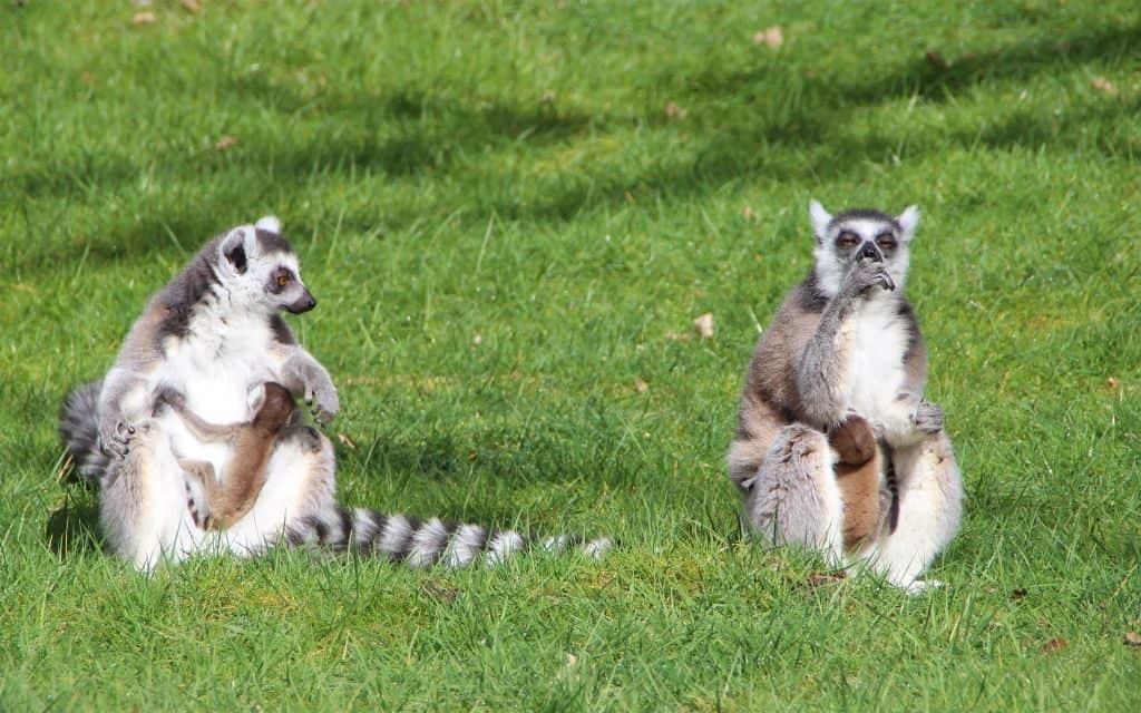Zuchterfolg für die stark gefährdeten Kattas im Serengeti-Park, Foto: Serengeti-Park