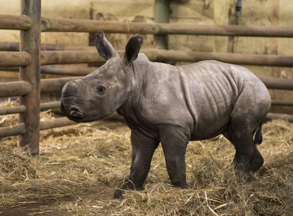 Das Breitmaulnashorn-Mädchen Moana wurde am 26.12.2016 geboren. Foto: Serengeti-Park Hodenhagen