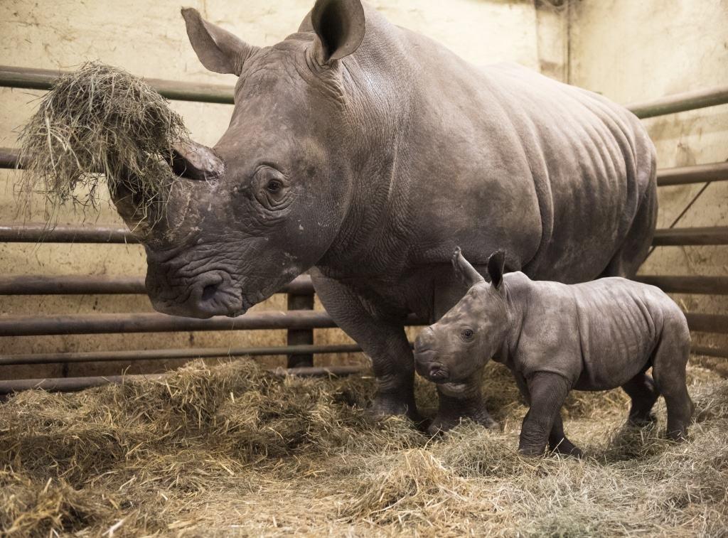 Moana war bei ihrer Geburt ungefähr 30 Kilo schwer und rund 40 Zentimeter hoch. Foto: Serengeti-Park Hodenhagen