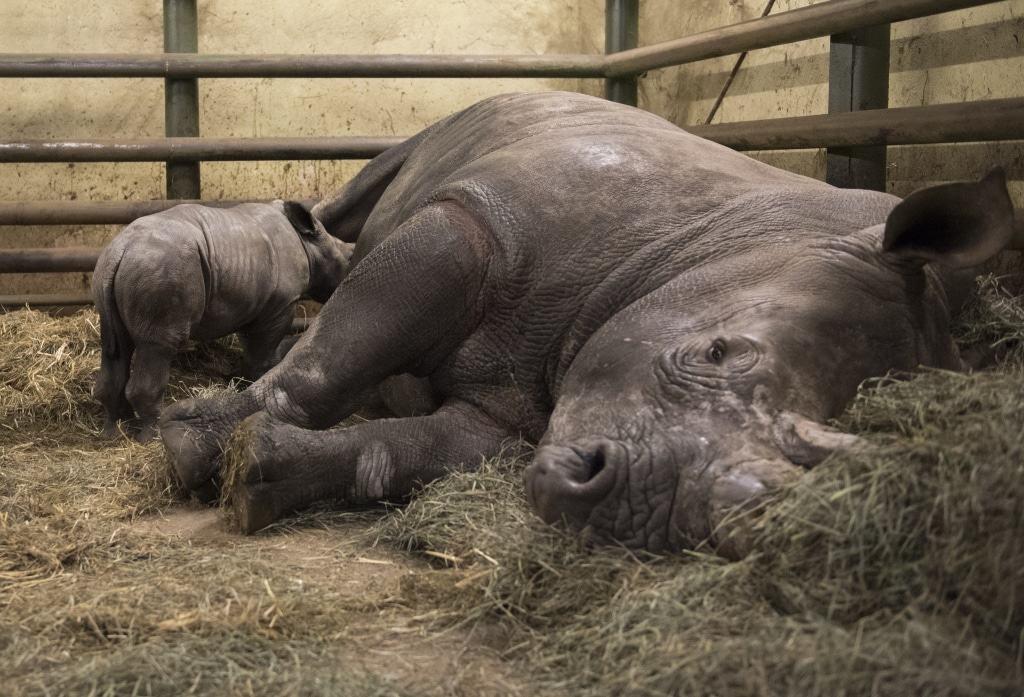Breitmaulnashörner haben eine Tragezeit von 18 Monaten. Foto: Serengeti-Park