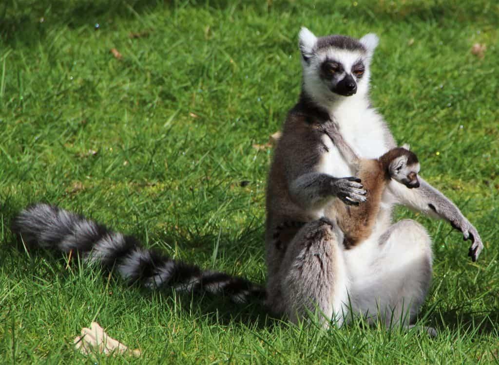 Drei Katta-Jungtiere wurden 2016 im Serengeti-Park geboren. Foto: Serengeti-Park