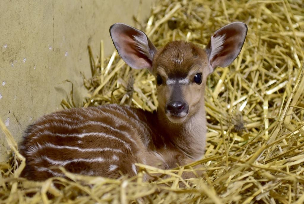Am 07.01.2017 geboren: Tieflandnyala-Weibchen Nala. Foto: Serengeti-Park Hodenhagen