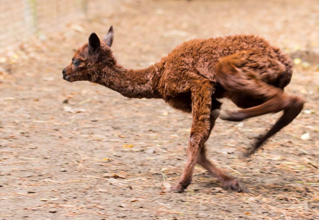 Fee flitzt schon neugierig durch das Jungtiergehege. Foto: Serengeti-Park Hodenhagen