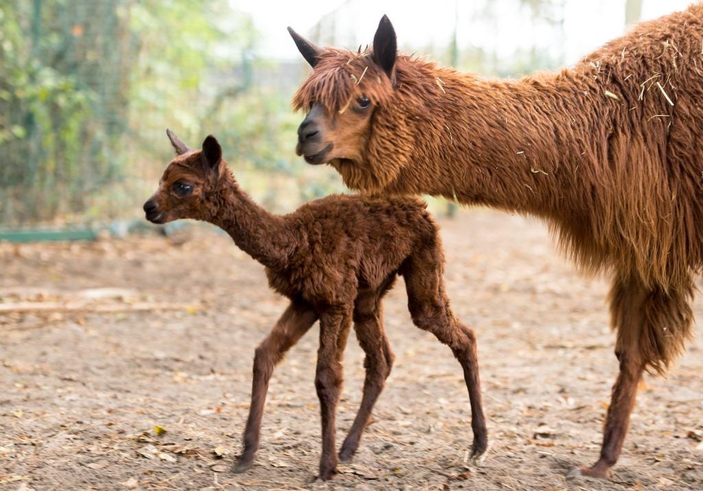 Fee wurde Anfang Oktober 2016 nach etwa 11 bis 12 Monaten Tragezeit geboren. Foto: Serengeti-Park Hodenhagen
