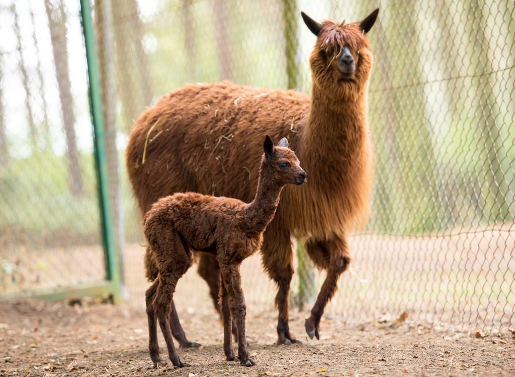 Erster Alpaka-Nachwuchs im Serengeti-Park Hodenhagen geboren Foto: Serengeti-Park Hodenhagen