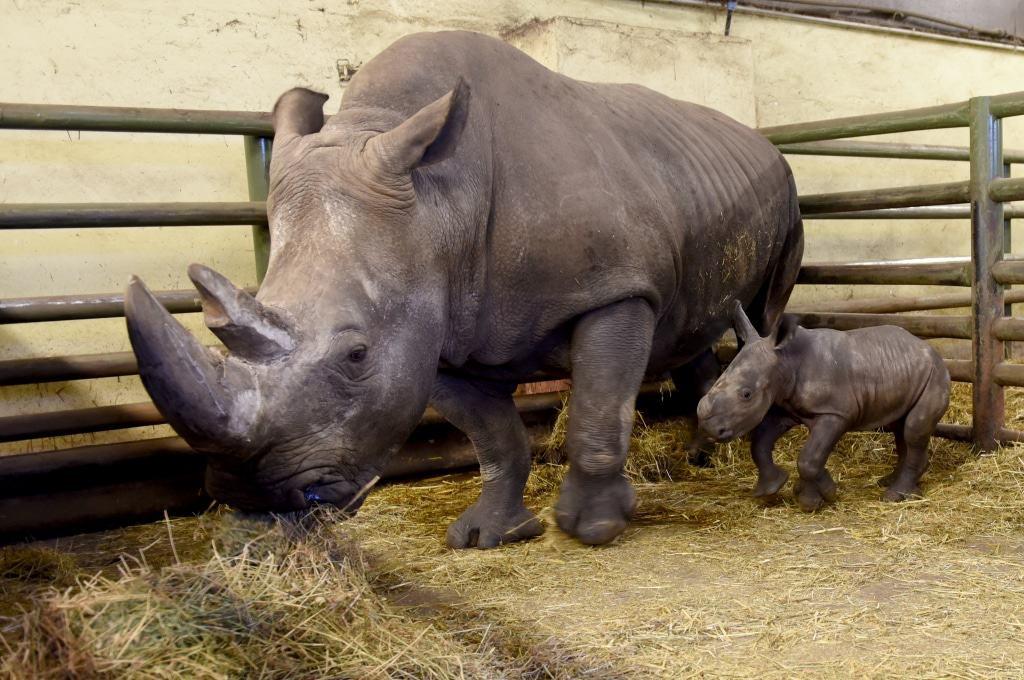 Bei seiner Geburt wog Akono etwa 45 kg und hatte eine Schulterhöhe von 50 cm. Foto: Serengeti-Park Hodenhagen
