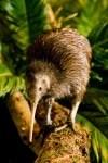 Kiwi-Nachwuchs im Weltvogelpark Walsrode erwartet