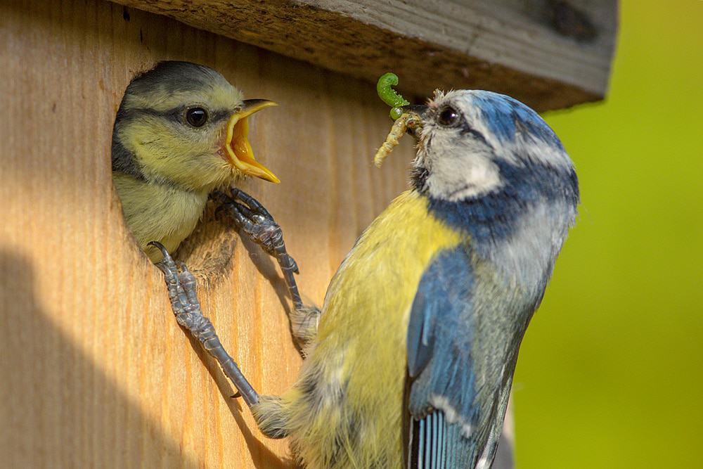 Die Größe des Einfluglochs beim Nistkasten hängt von der Vogelart ab. Für Blaumeisen ideal sind 26 bis 28 Milimeter. Foto: NABU/Rita Priemer
