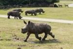 Serengeti-Park Hodenhagen: Erstmals alle drei Nashornjungtiere in der Freianlage