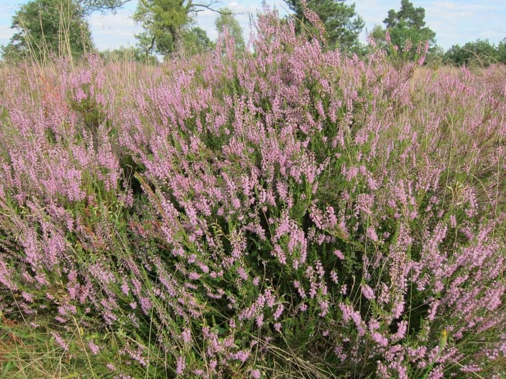 07.08.2016: Blühendes Heidekraut (Calluna vulgaris) in der Osterheide in Schneverdingen