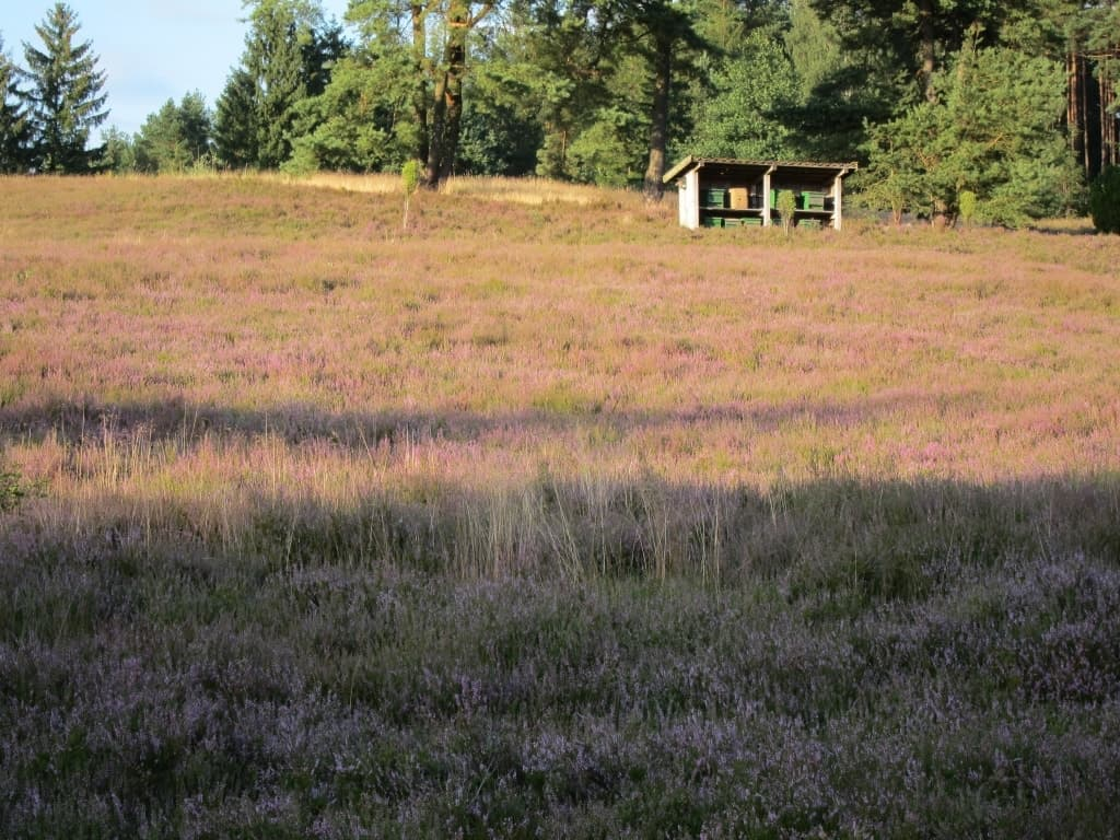 08.08.2016: Bienenzaun in der Kronsbergheide im Abendsonnenschein/Amelinghausen