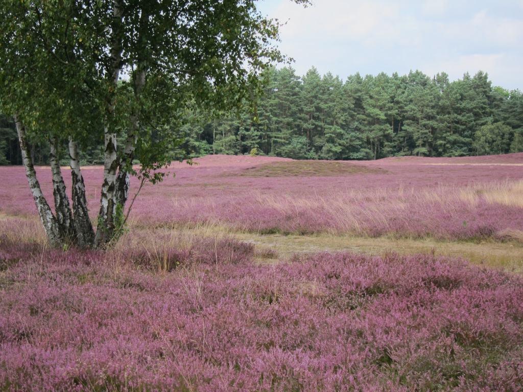 Birken in der blühenden Klein Bünstorfer Heide, Bad Bevensen