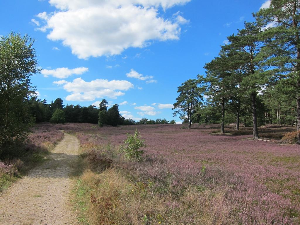 Blühende Heideflächen Schwindebecke Heide mit Heide-Panorama-Weg