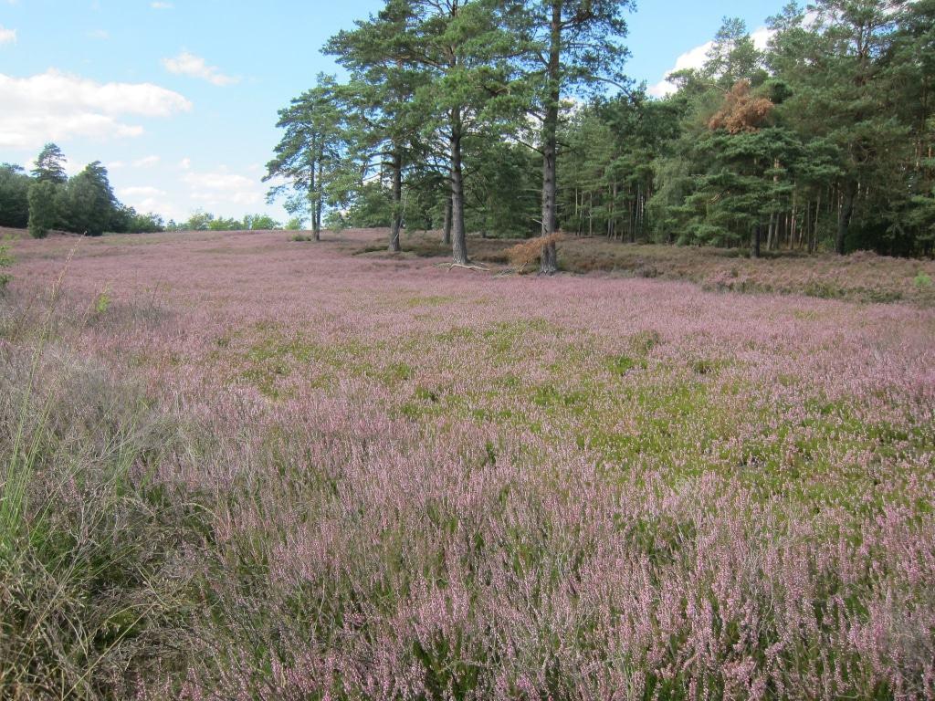 Blühende Heide in der Schwindebecker Heide, Fläche mit jungen Heidepflanzen