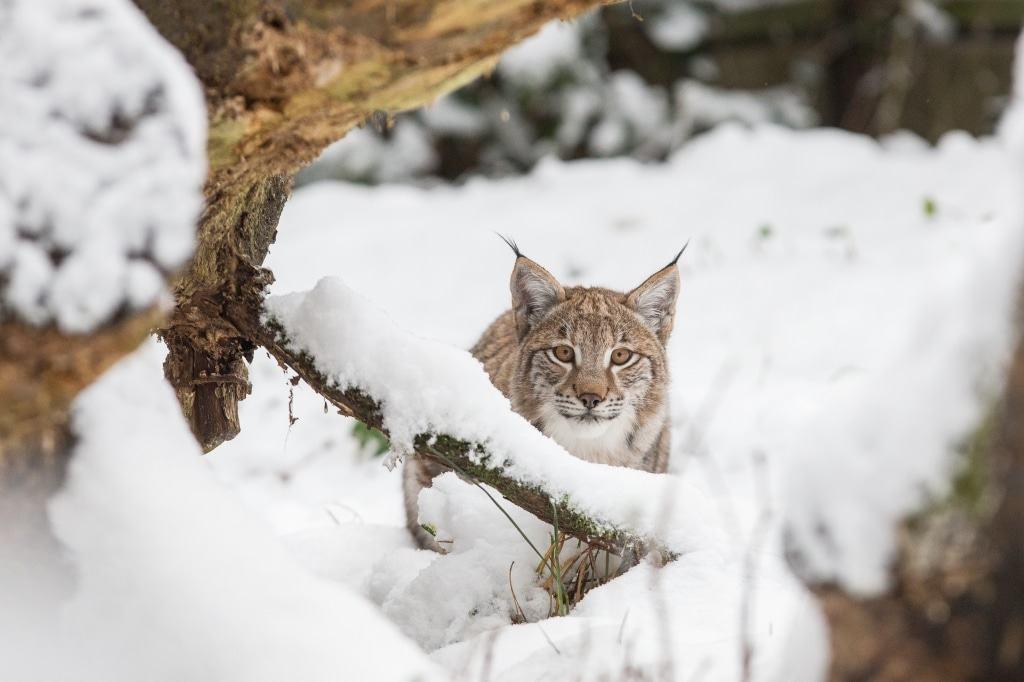 """Luchs-Kater """"Legolas"""" erlebt den ersten Winter seines Lebens im Wildpark Lüneburger Heide. Foto: Wildpark/Thomas Ix"""