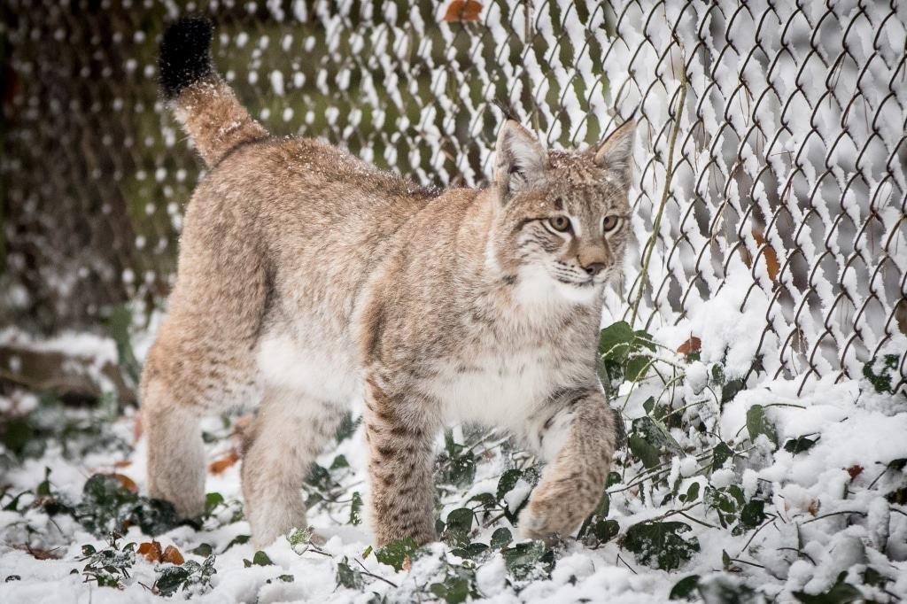 """Luchs-Katze """"Lupine"""": Die Pinselohren und der dicke, buschige Schwanz sind die Erkennungsmerkmale dieser Tierart. Foto: Wildpark/Thomas Ix"""