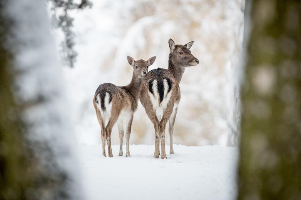 Das Damwild hat sein charakteristisches Winterkleid angelegt. Foto: Wildpark/Thomas Ix
