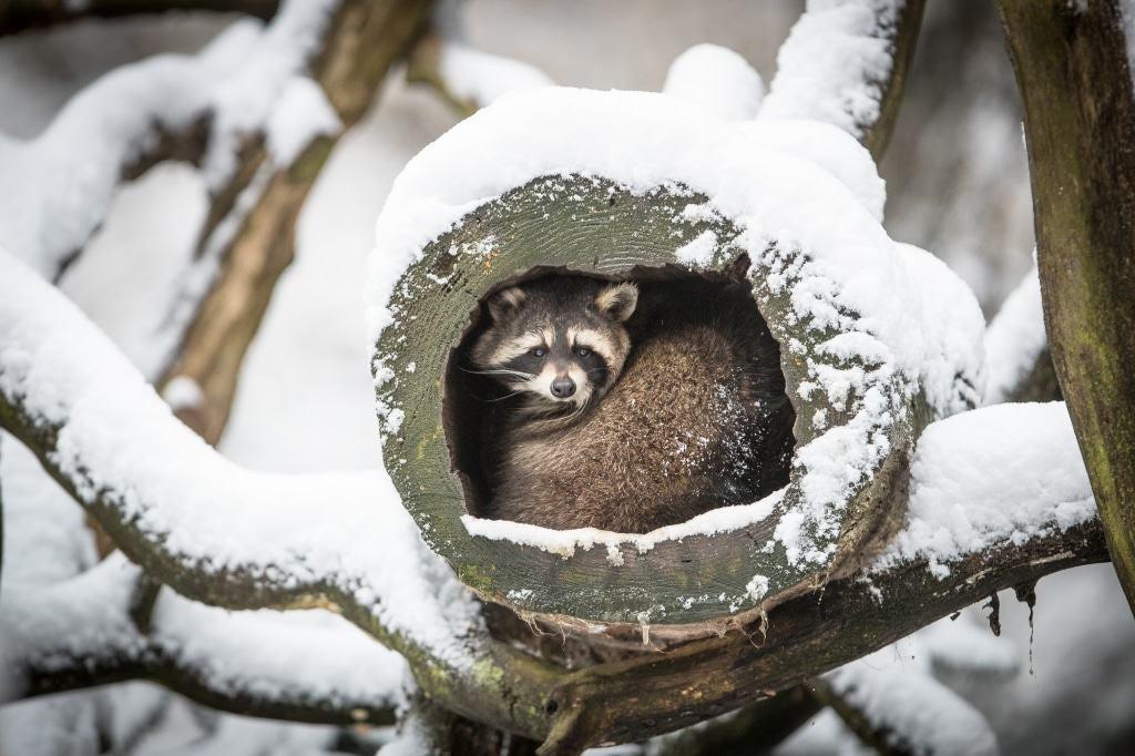 Der Waschbär hat es sich in seiner Baumhöhle gemütlich gemacht. Foto: Wildpark/Thomas Ix