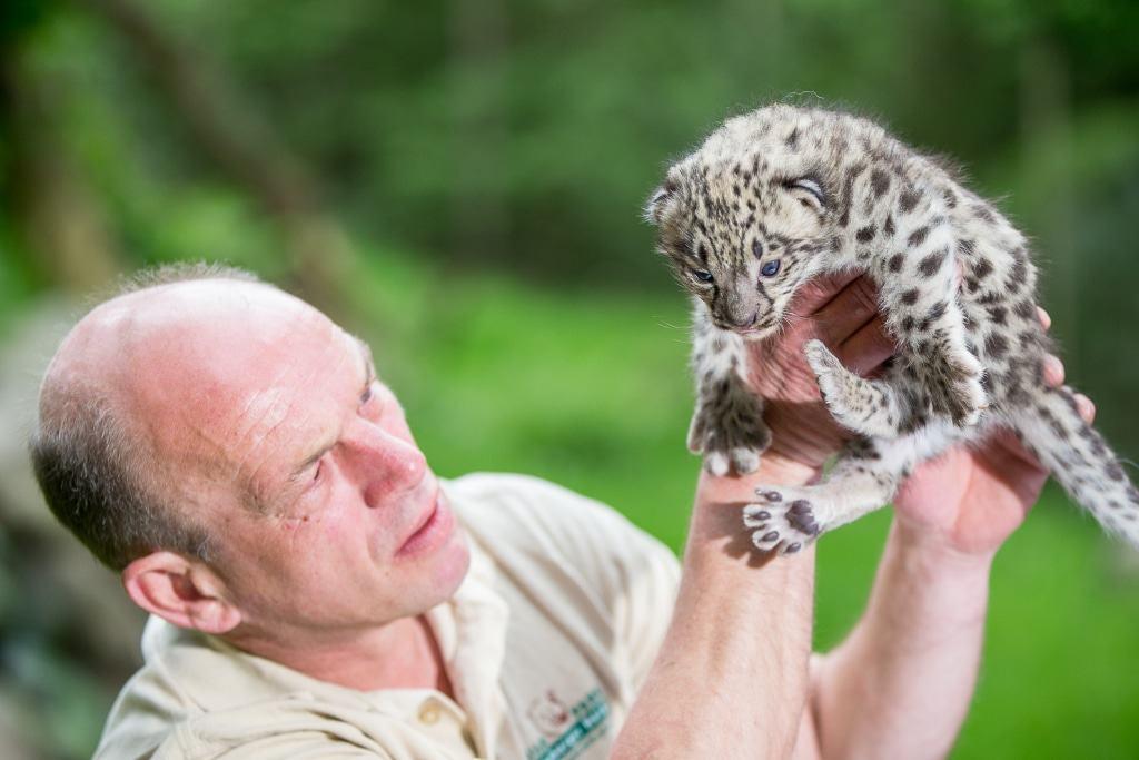 Das gehört zur Routine: Tierpfleger Jens Pradel schaut sich den Nachwuchs genau an und überprüft die Entwicklung der Katze. Foto: Wildpark/Thomas Ix