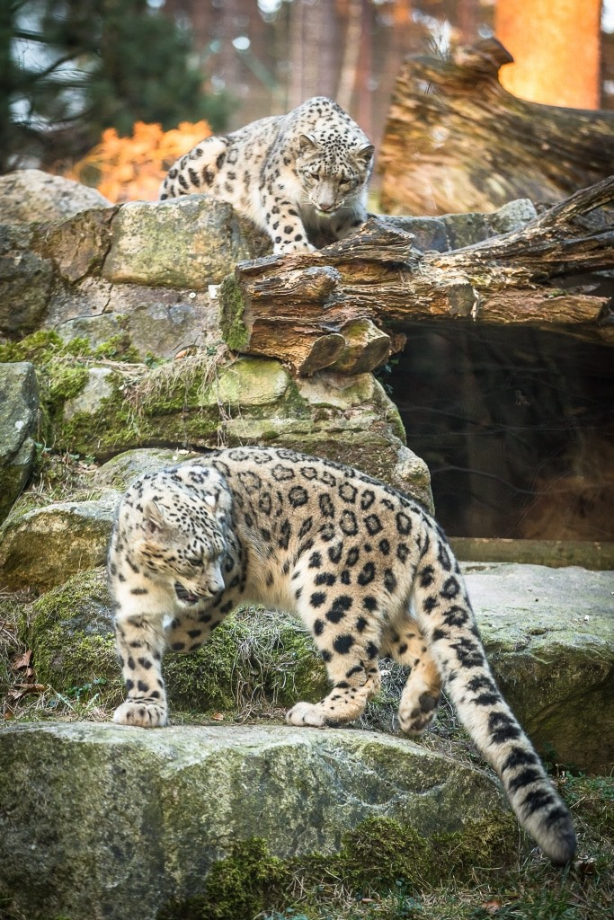 Ein Archivfoto von Anan und Aziza, den Eltern der Schneeleoparden-Babys. Foto: Wildpark/Thomax Ix