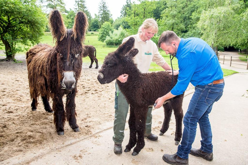 """Auch Poitou-Eselfohlen """"Hermann"""" muss untersucht werden und erhält einen mit dem Chip seinen eigenen """"Personalausweis"""". Foto: Wildpark/Thomas Ix"""