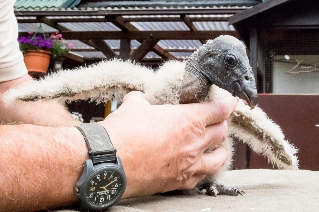 Wenn das Kondor-Weibchen ausgewachsen ist, wird es eine Flügelspannweite von bis zu 2,70 Metern haben. Foto: Wildpark/Thomas Ix
