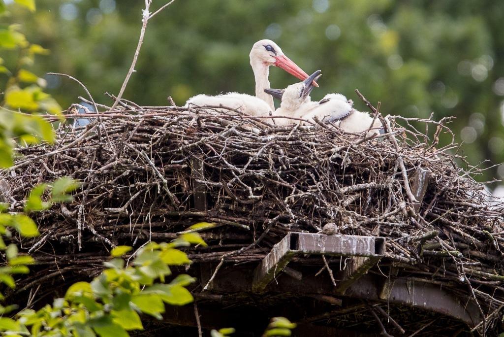 Einer der beiden Jungstörche bettelt beim Altvogel nach Nahrung. Beide Eltern kümmern sich um die Aufzucht des Nachwuchses. Foto: Wildpark/Thomas Ix