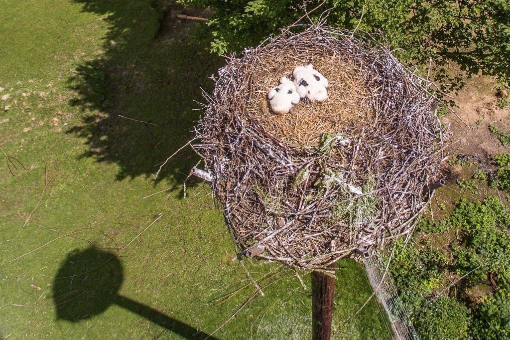Ein Blick aus der Vogelperspektive auf das Storchennest. Die beiden Jungvögel ducken sich auf den Boden, bis die Eltern mit Nahrung kommen. Foto: Wildpark/Thomas Ix