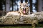 Zum Wolfstag in den Wildpark