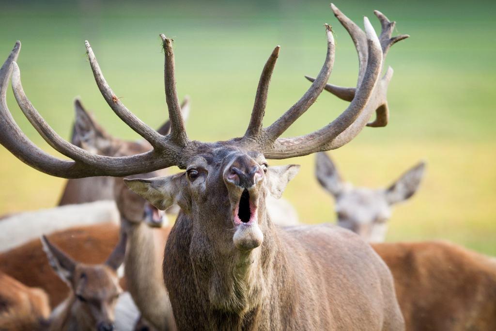 Der Hirsch lässt keinen Zweifel daran, wer im Rudel den Ton angibt. Foto: Wildpark/Thomas Ix