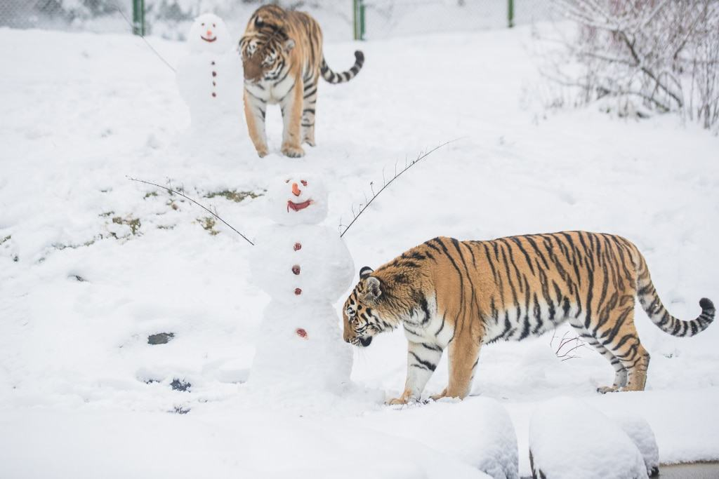 """Die sibirischen Tiger """"Ronja"""" (vorn) und  """"Alex"""" nähern sich den Eindringlingen sehr vorsichtig. Foto: Wildpark/Thomas Ix"""