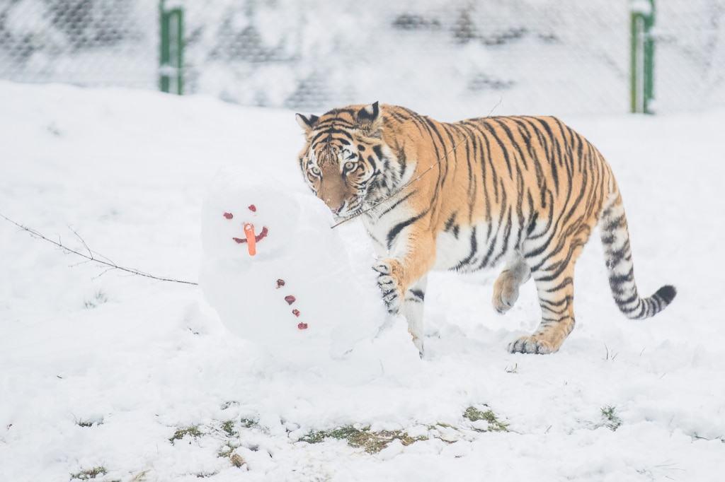 """""""Ronja"""" ist mutikg, wirft den Schneemann um... Foto: Wildpark/Thomas Ix"""