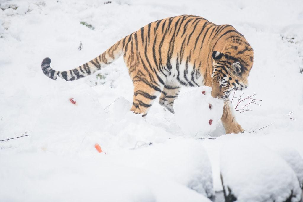 """Jetzt, wo die Gefahr gebannt ist, kann """"Ronja"""" sich den kleinen Leckereien, die im Schneemann versteckt sind, widmen… Foto: Wildpark/Thomas Ix"""