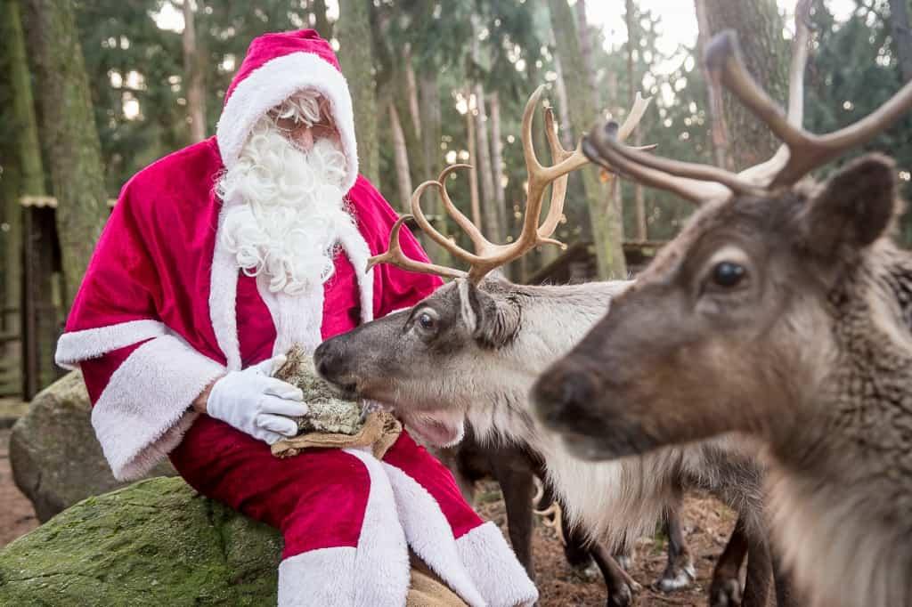 Für die Rentiere  gibt's noch eine Extra-Portion Moos zur Stärkung, bevor sie mit dem Schlitten des Weihnachtsmanns abheben. Foto: Wildpark/Thomas Ix