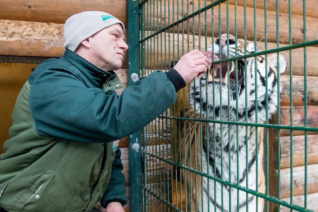 """Während Tiger """"Alex"""" das Maul aufreißt, um sich seinen Fleisch- Leckerbissen zu holen, schaut sich Tierpfleger Jens Pradel Rachen und  Zähne der Raubkatze aus nächster Nähe an. Foto: Wildpark Lüneburger Heide/Thomas Ix"""