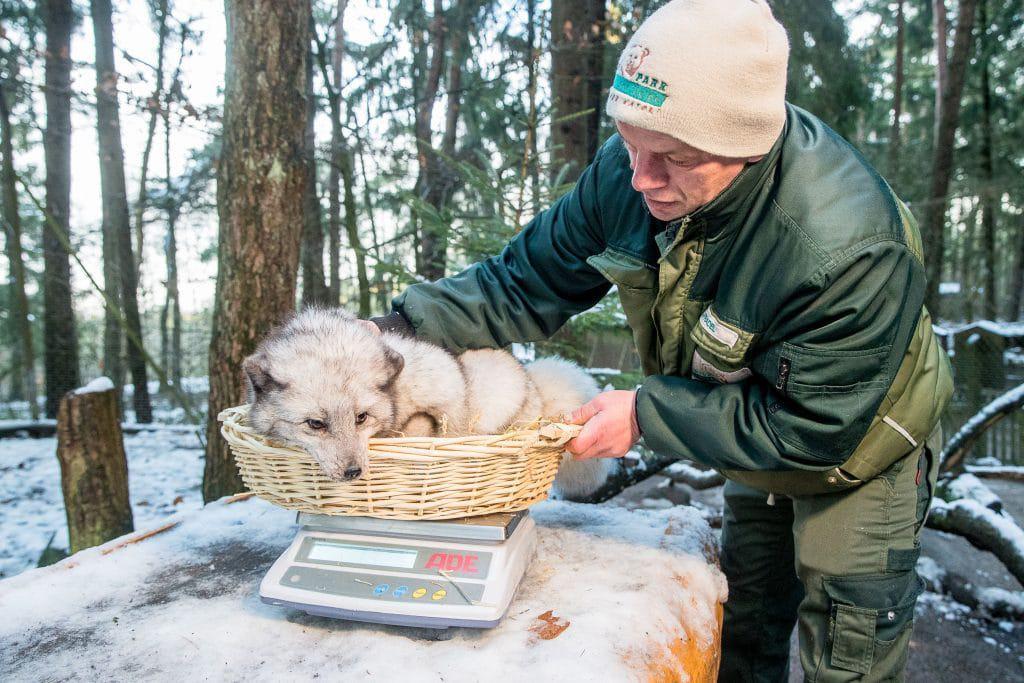Geduldig lässt sich ein Polarfuchs von Tierpfleger Jens Pradel wiegen  – auch hier ist alles in Ordnung. Foto: Wildpark Lüneburger Heide/Thomas Ix