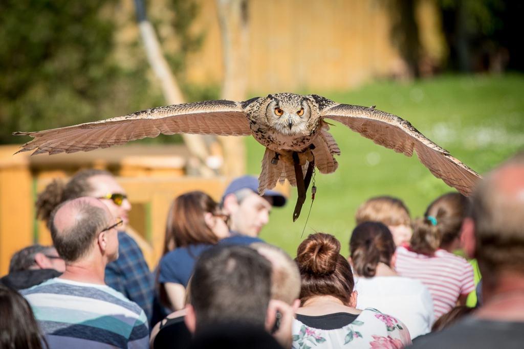 """Uhus und Eulen - die """"Jäger der Nacht"""" - zeigen ihre Flugkünste bei  einer abendlichen Flugshow. Foto: Wildpark/Thomax Ix"""