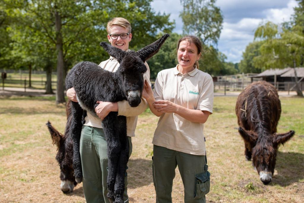 Gelassenheitsprüfung bestanden: Der kleine Poitou-Esel lässt sich von den Tierpflegern auch mal auf den Arm nehmen. Foto: Adrian Fohl